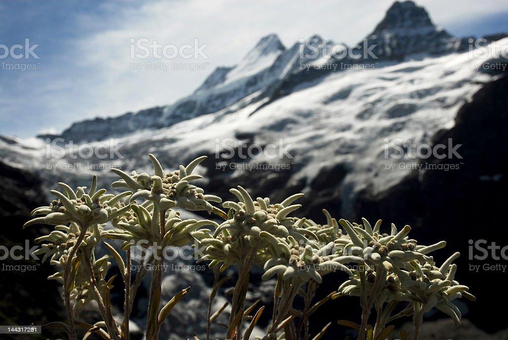 Alp flowers royalty-free stock photo