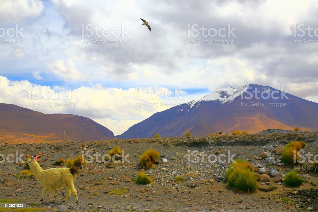 Alpaca andean llama and bird flying to freedom, animal wildlife in...