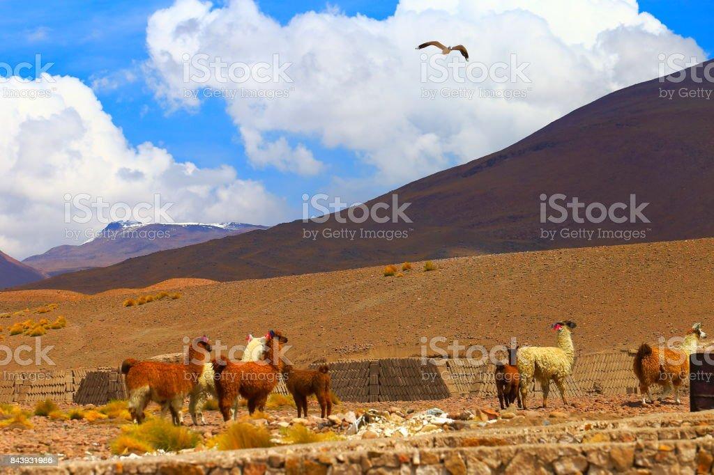 Alpaca andean llamas and bird flying above, animal wildlife in...