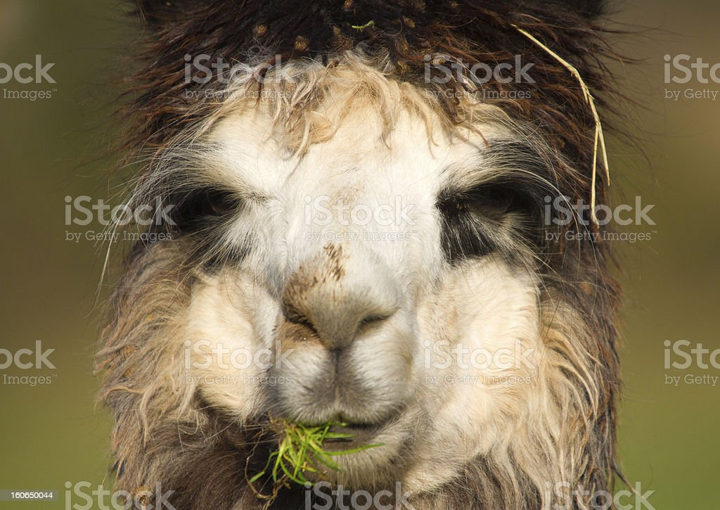 Alpaca enjoying lunch royalty-free stock photo