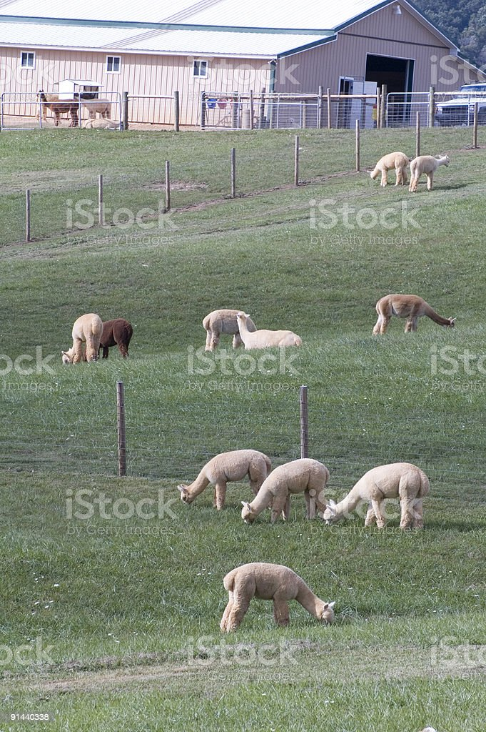 Alpaca Farm stock photo