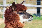 Alpaca head close-up