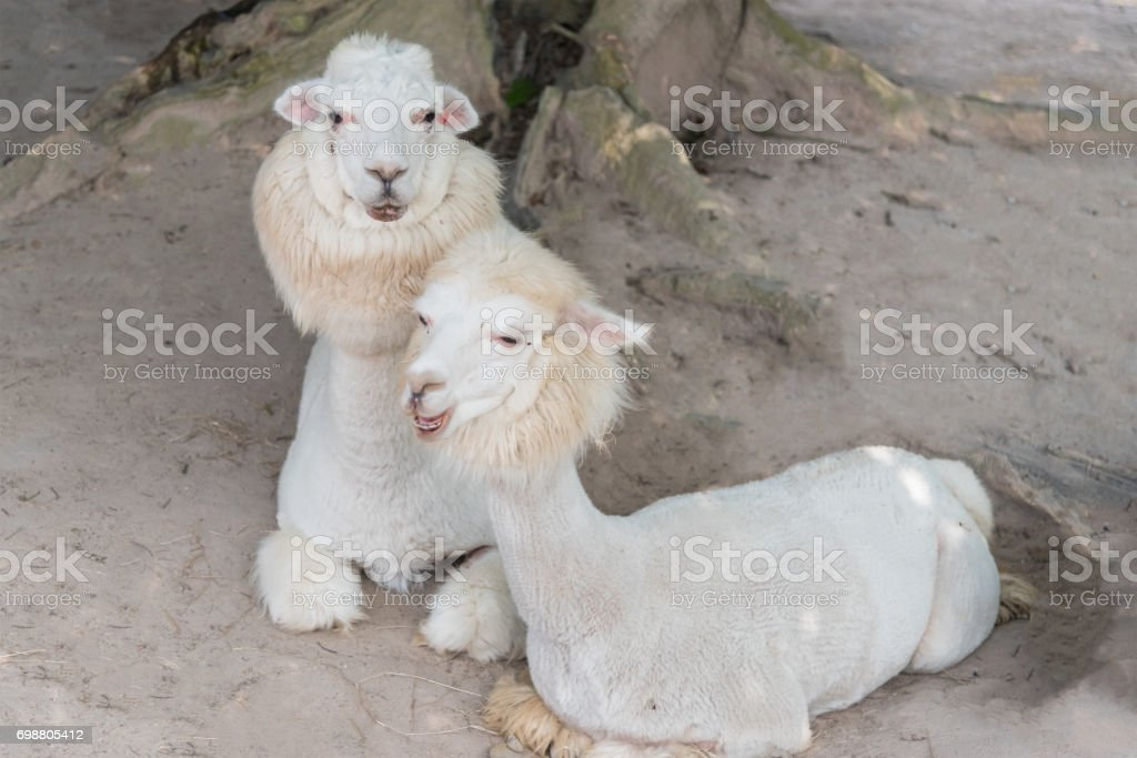 Alpaca lying and relaxing on ground. stock photo