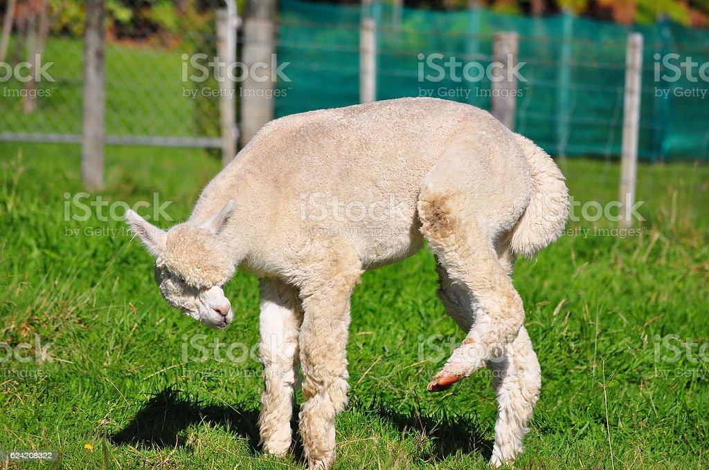 Alpaca on green grass stock photo
