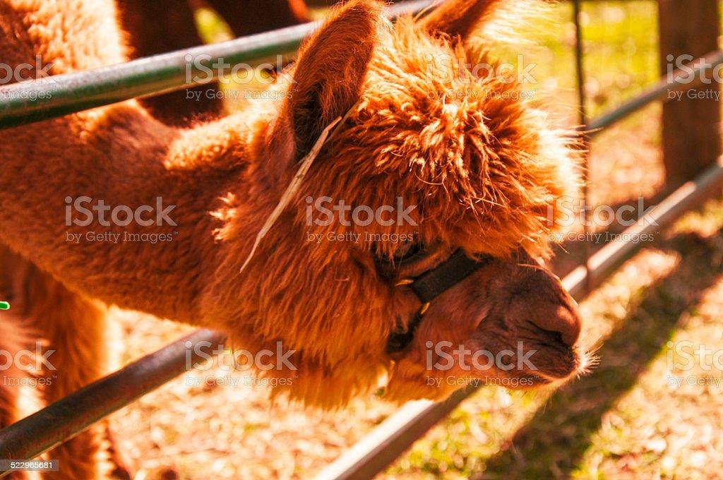 Alpaca royalty-free stock photo