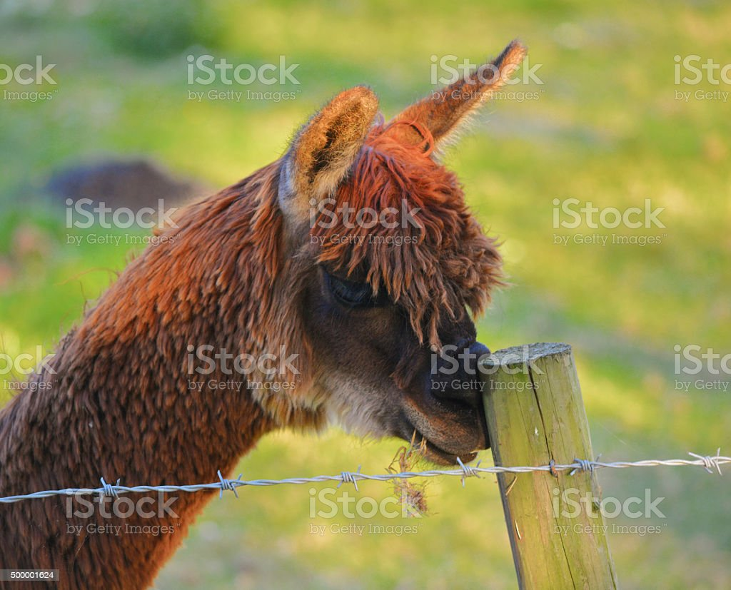 Alpaca (Funny) Scratching His Nose stock photo