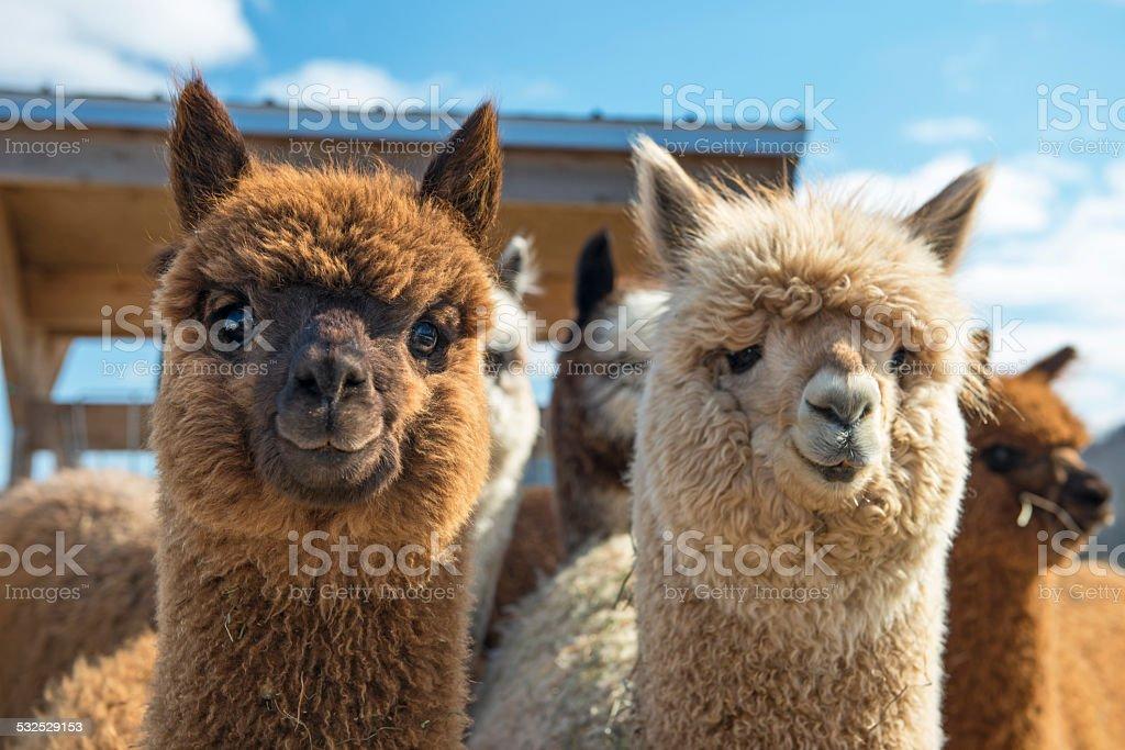 Alpacas stock photo