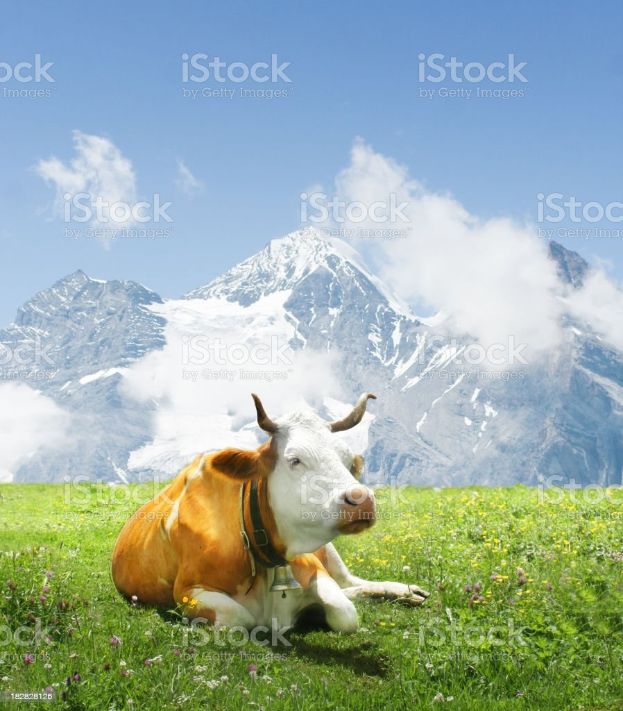 Alpen cow laying on green grass stock photo