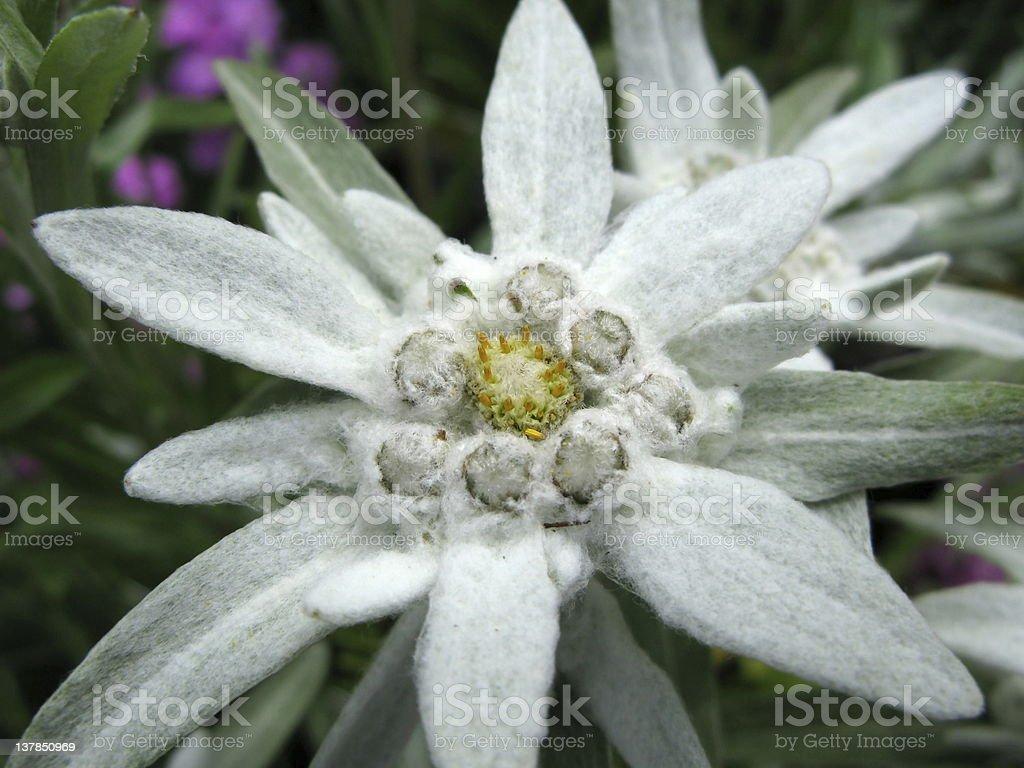 Alpen Edelwei? - Leontopodium Alpinum royalty-free stock photo