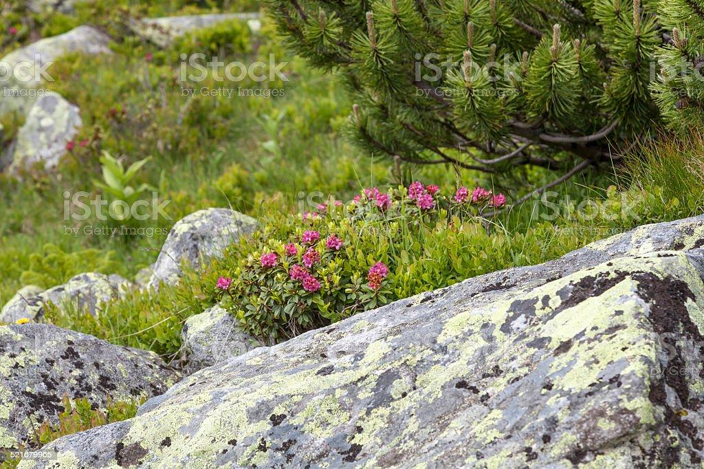 Alpenrose stock photo
