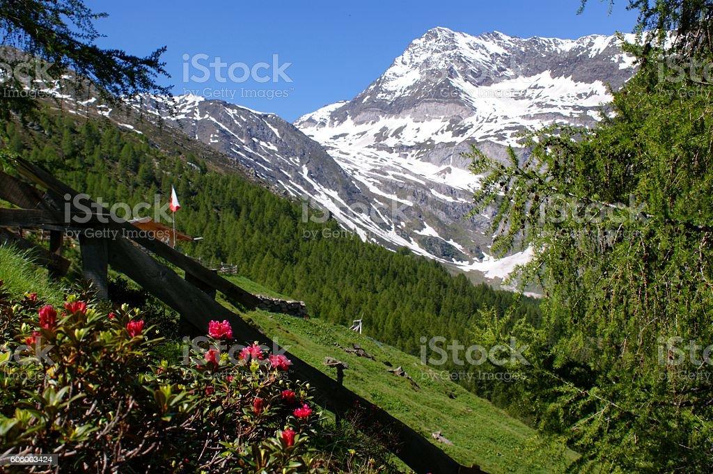 Alpenrosen and snow stock photo
