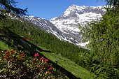 Alpenrosen and snow
