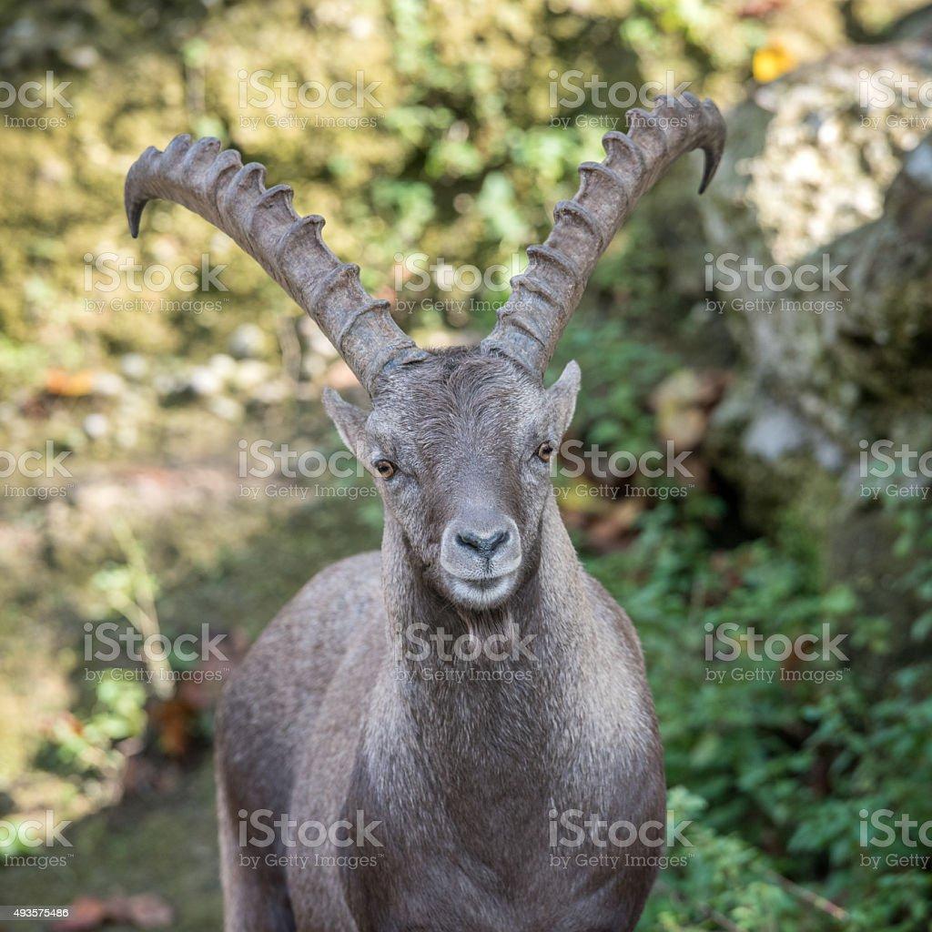 Alpensteinbock, Steinbock, Alpine Ibex stock photo