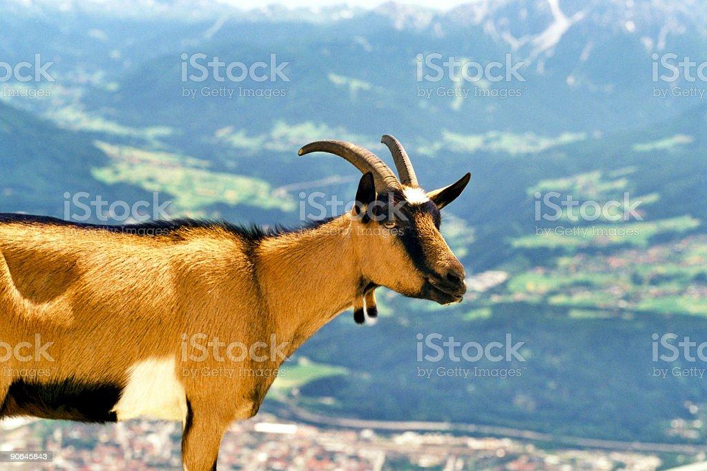 Alp-Goat royalty-free stock photo