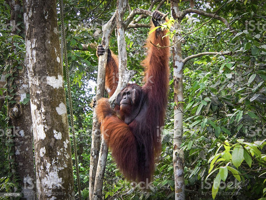 Alpha Male Borneo Orangutan at the Semenggoh Nature Reserve stock photo