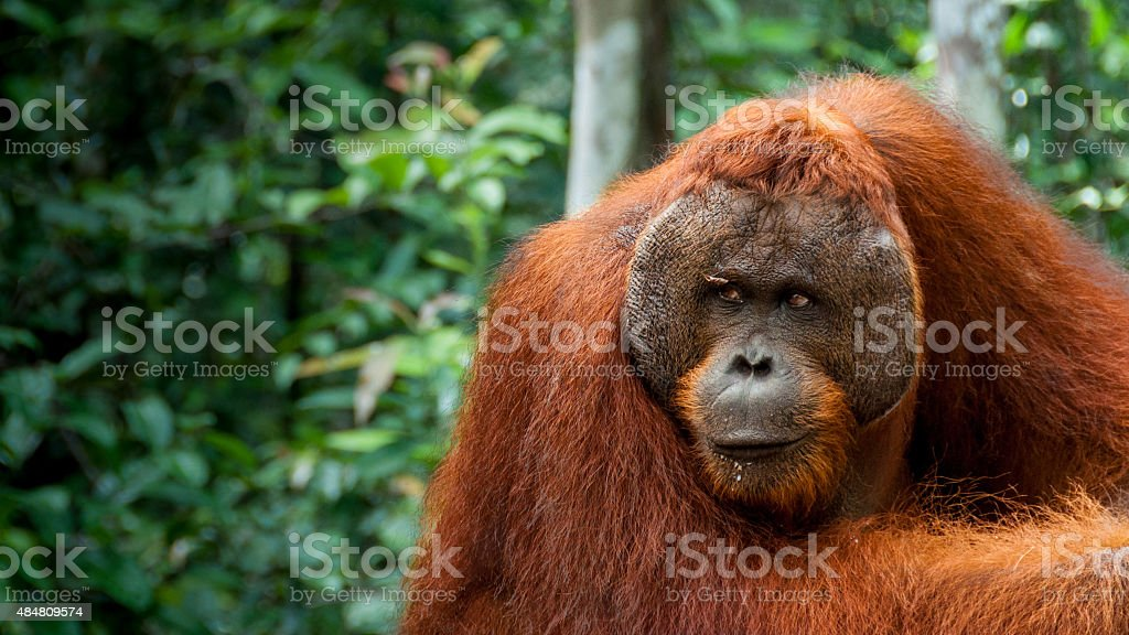 Alpha male Orang-Utan in Borneo stock photo