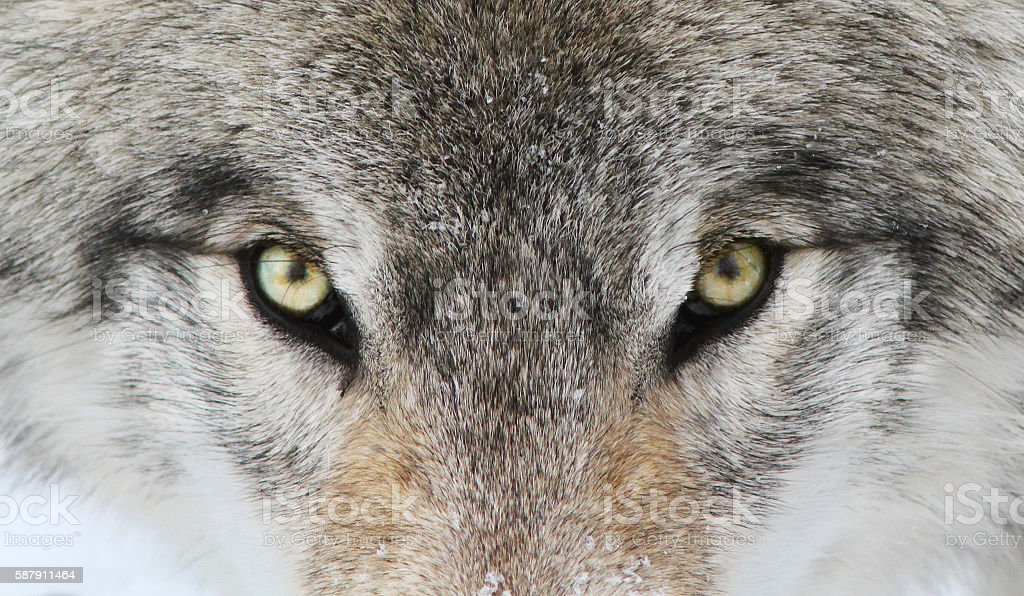 Alpha male Timber wolf portrait stock photo