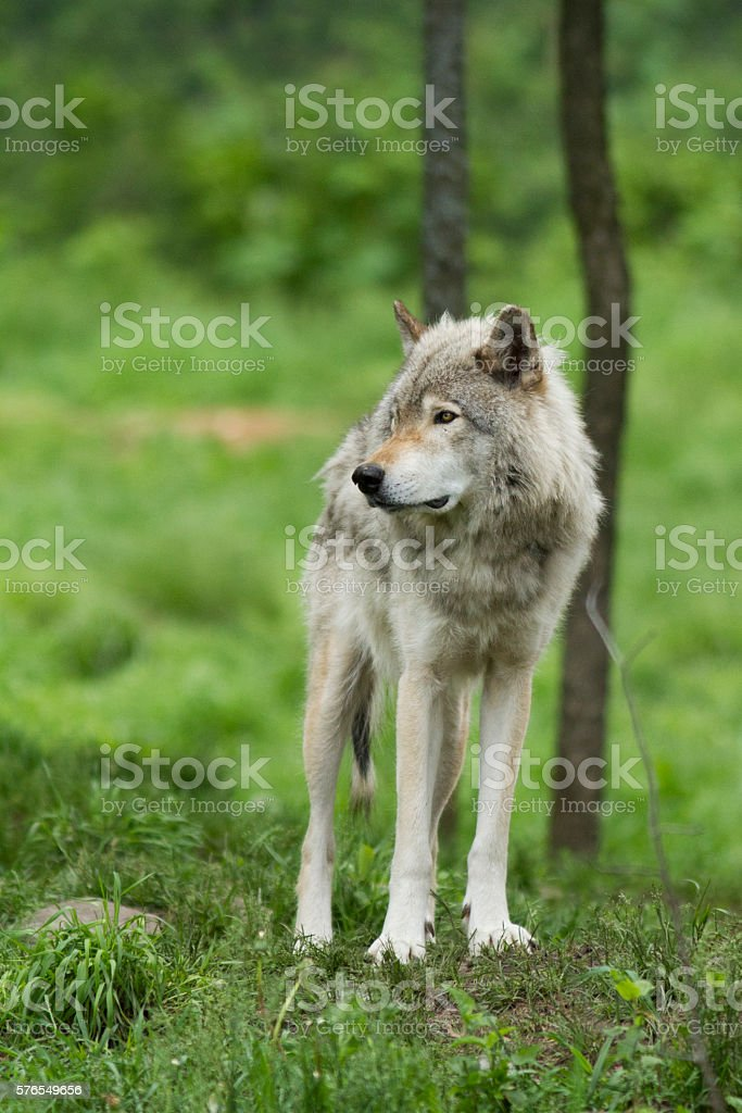 Alpha maleTimber wolf stock photo