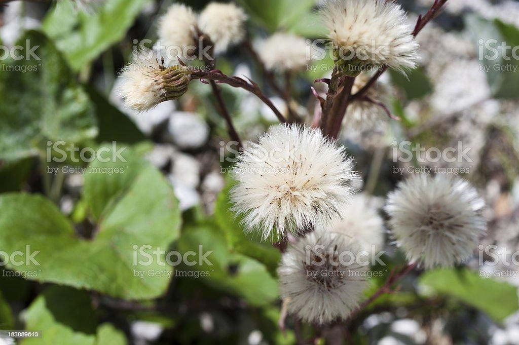 Alpin flower blowball stock photo