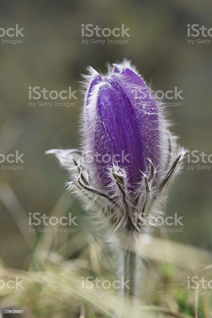 Alpine anemone mountain flower royalty-free stock photo