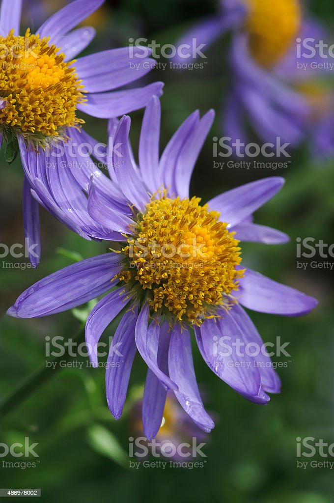 Alpine aster - Aster alpinus stock photo