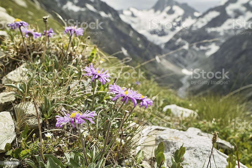 Alpine aster in front of mountains with glaicer stock photo