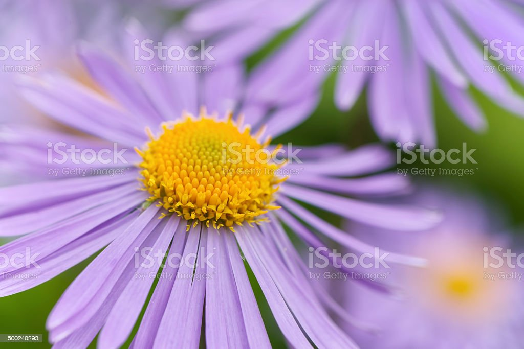 Alpine Aster stock photo