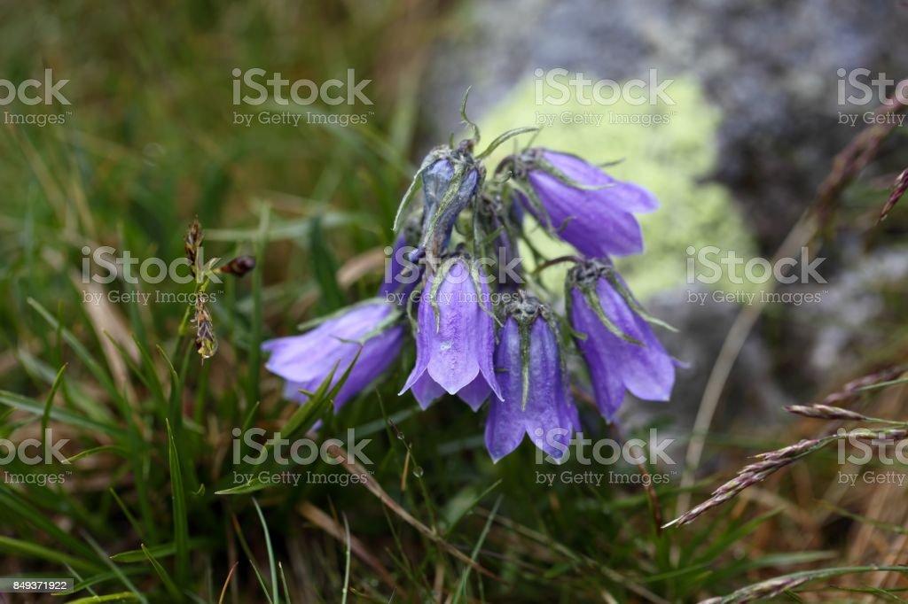Alpine Bellflower (Campanula alpina) stock photo