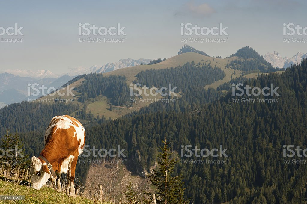 Alpine Cattle Cow grazing Mountain Landscape stock photo