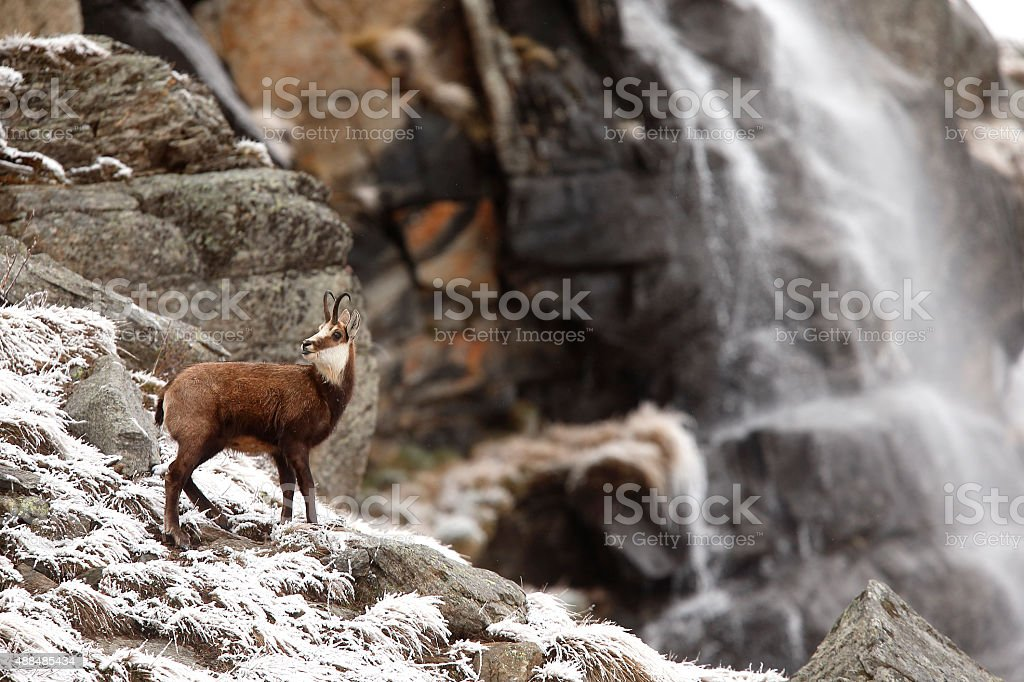 Alpine chamois  with waterfall stock photo