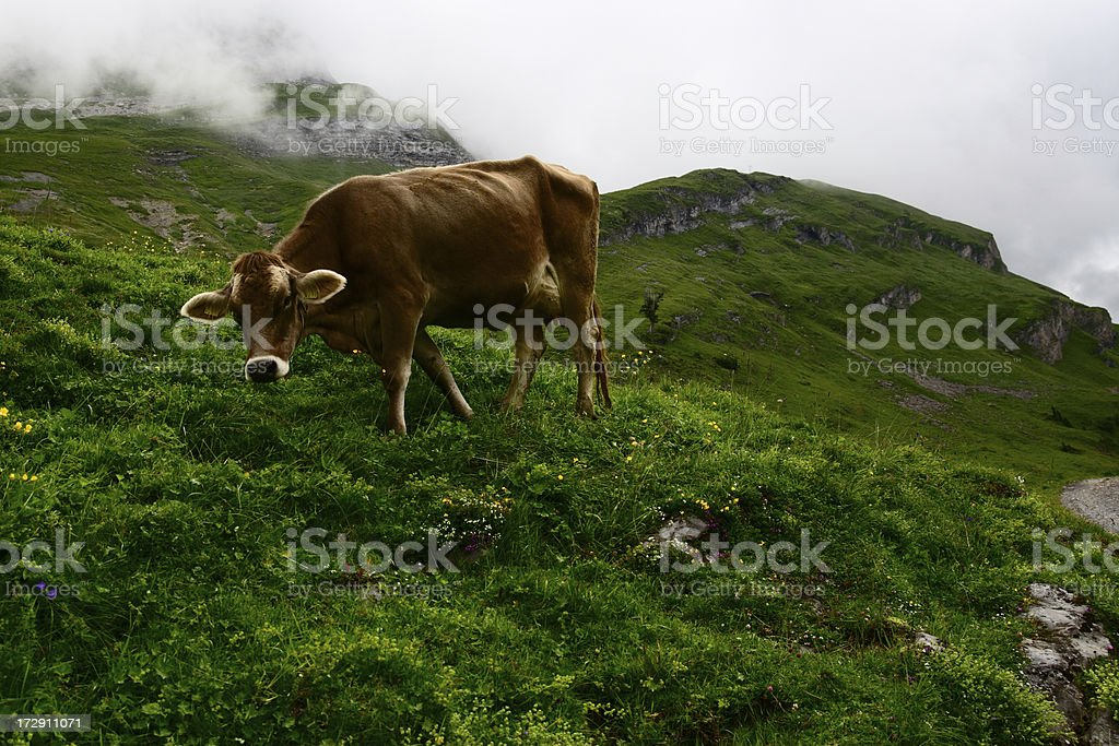 Alpine Cow Life royalty-free stock photo