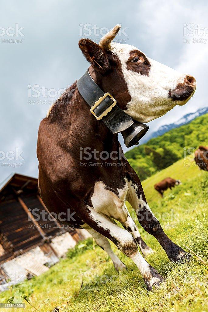 Alpine cow royalty-free stock photo