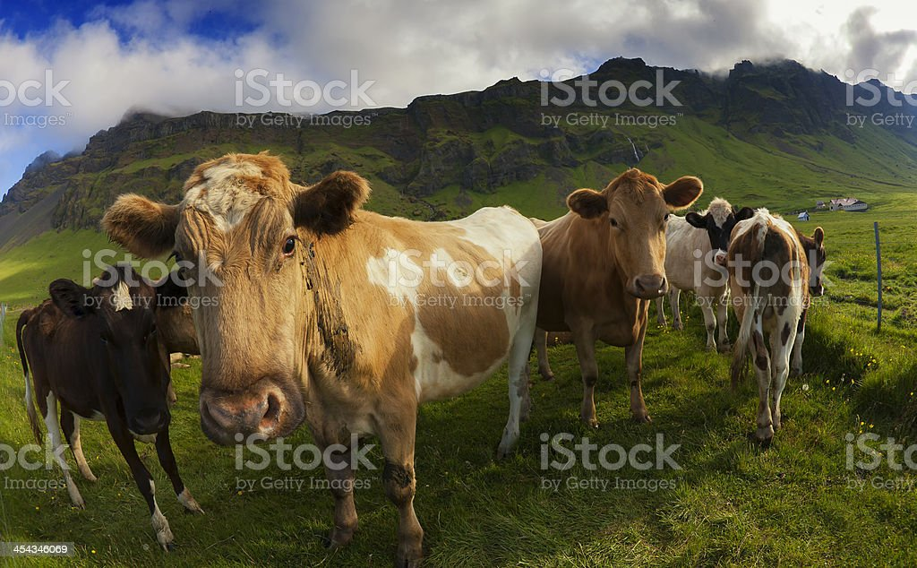 Alpine Cow`s royalty-free stock photo