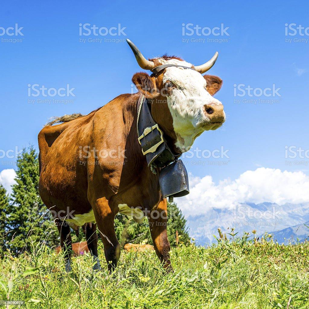 Alpine cows royalty-free stock photo