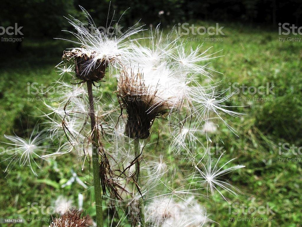 Alpine flora royalty-free stock photo