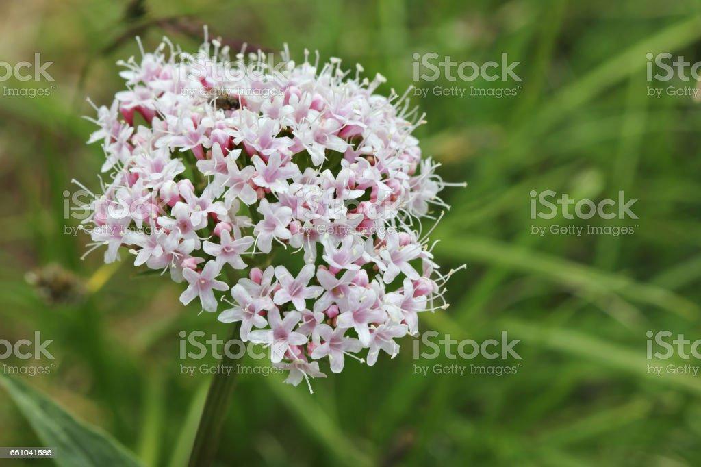 Alpine flora: Valeriana montana stock photo