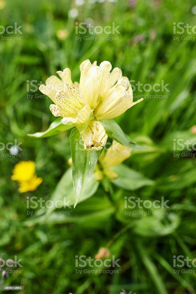 Alpine Flower stock photo