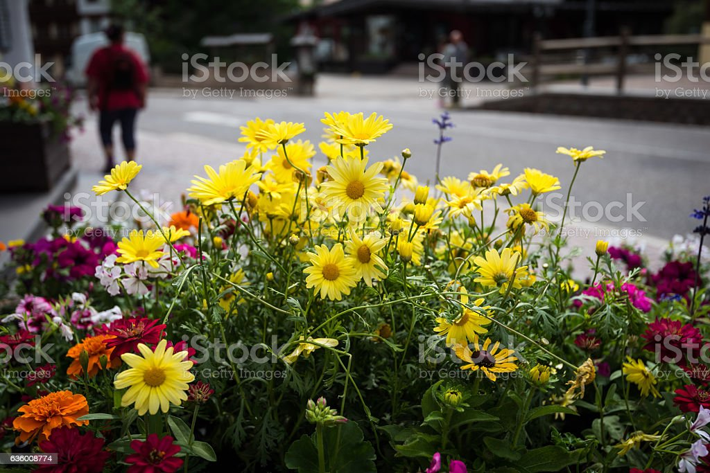 Alpine flowers in Canazei stock photo
