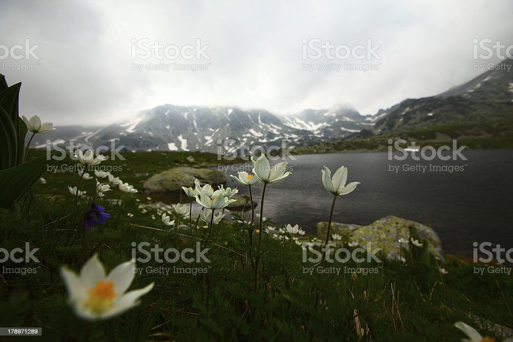Alpine flowers in June royalty-free stock photo