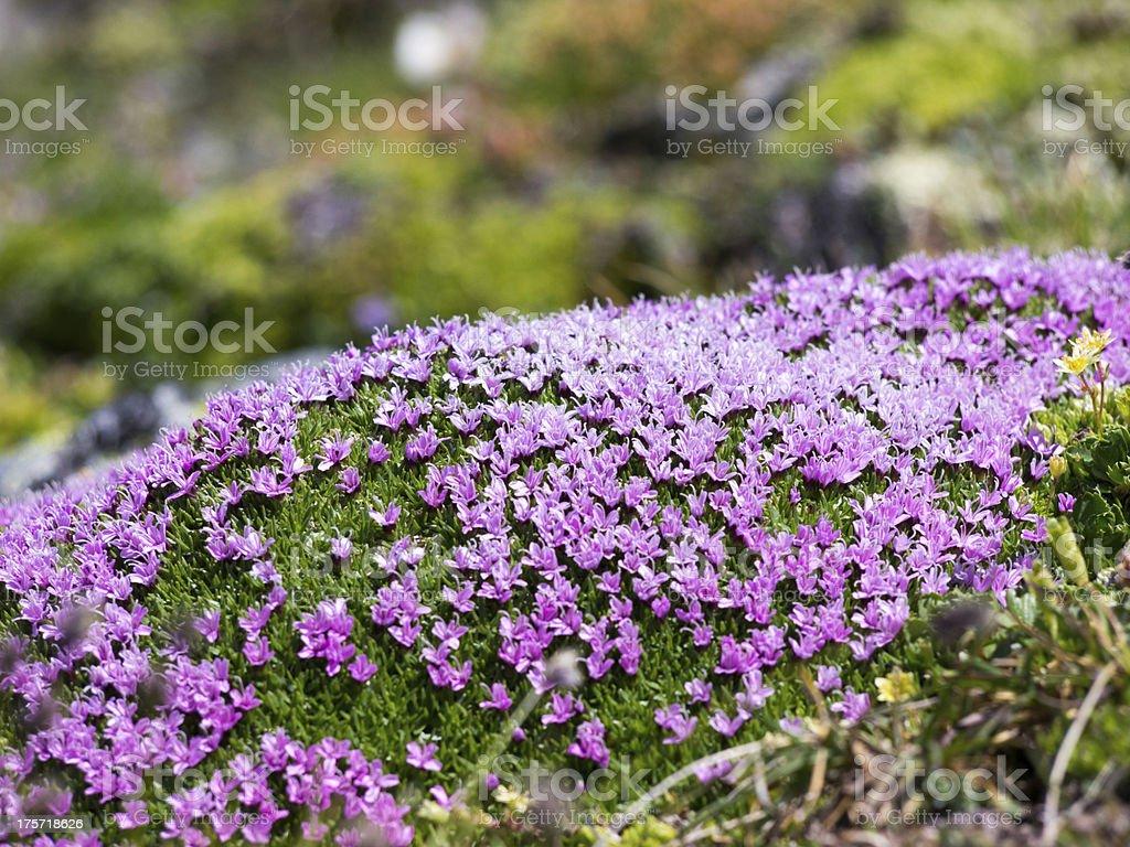 Alpine flowers stock photo