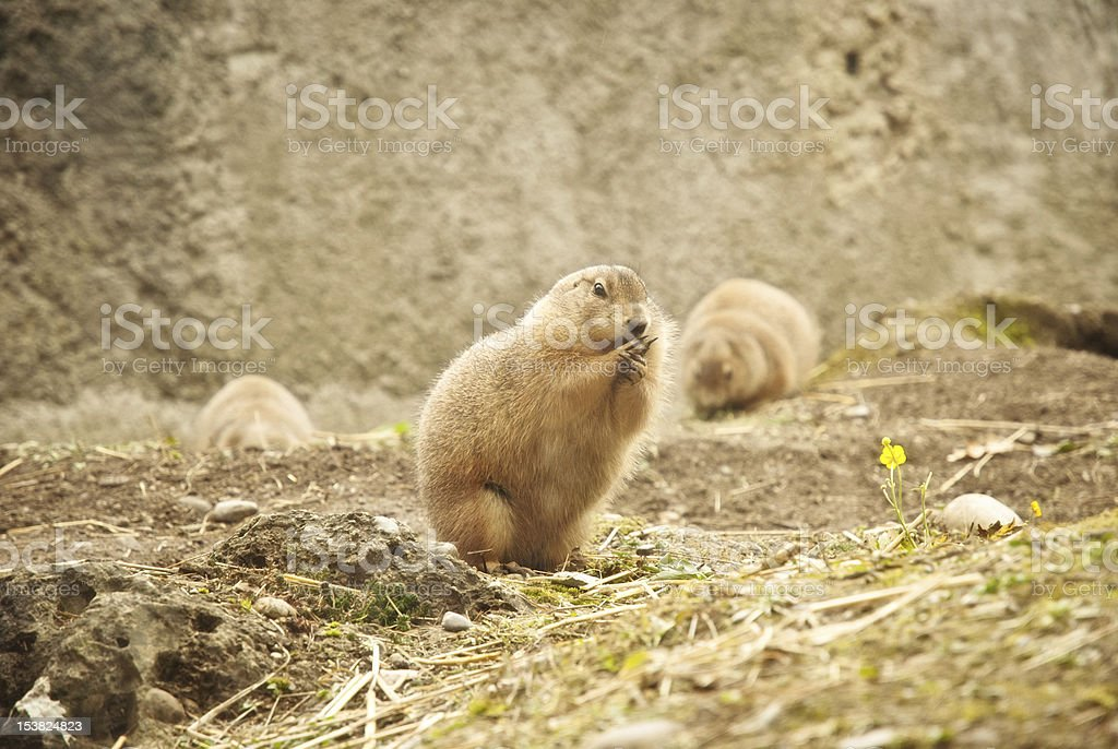 Alpine Groundhog stock photo