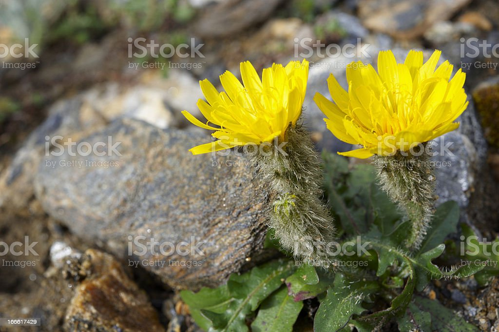 Alpine Hawkweed stock photo