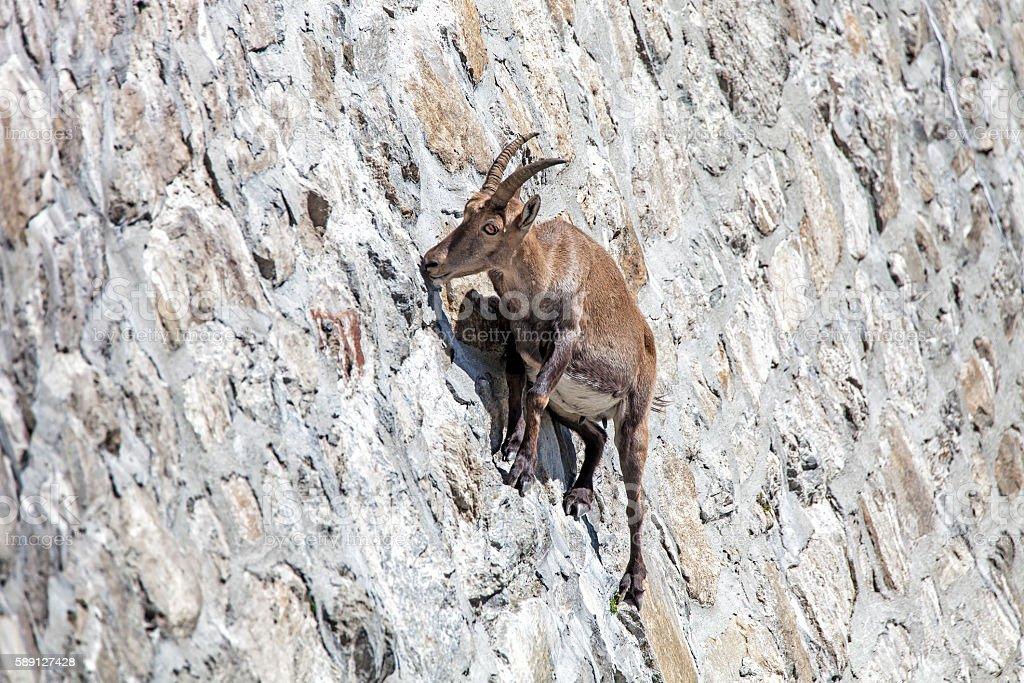 Alpine ibex at Cingino Dam stock photo