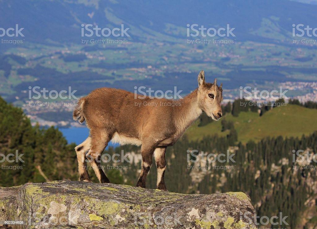 Alpine ibex baby on Mt Niederhorn stock photo