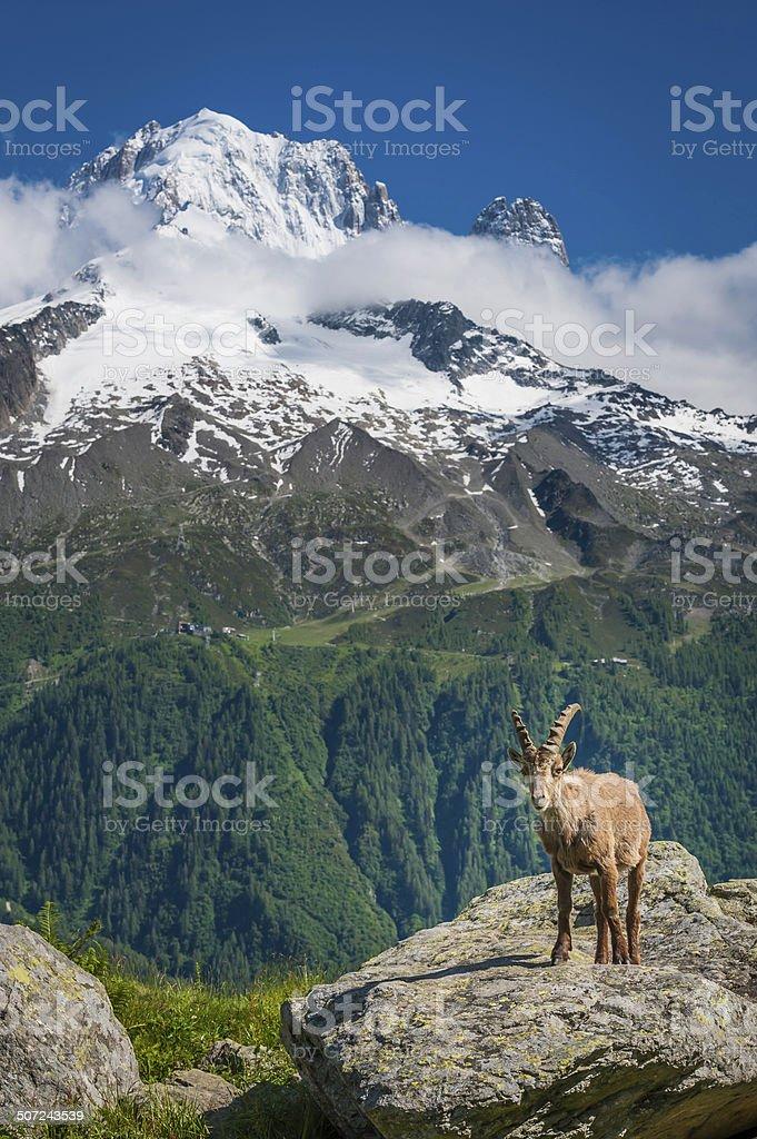 Alpine Ibex high in Alps overlooking snow mountain peaks stock photo