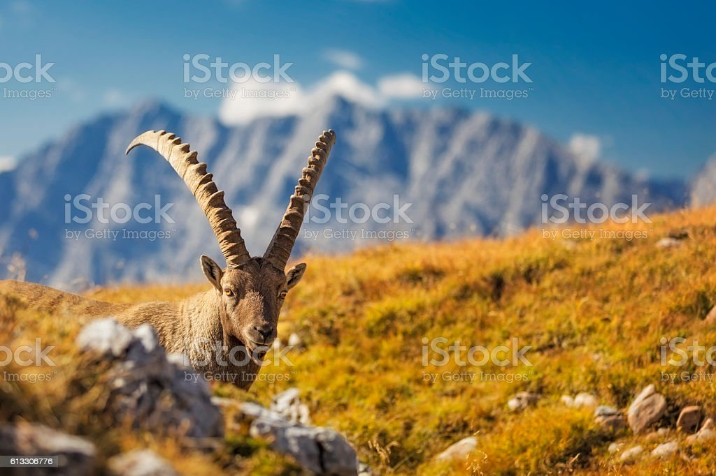 Alpine Ibex in front of Mount Watzmann -  Nationalpark Berchtesgaden stock photo