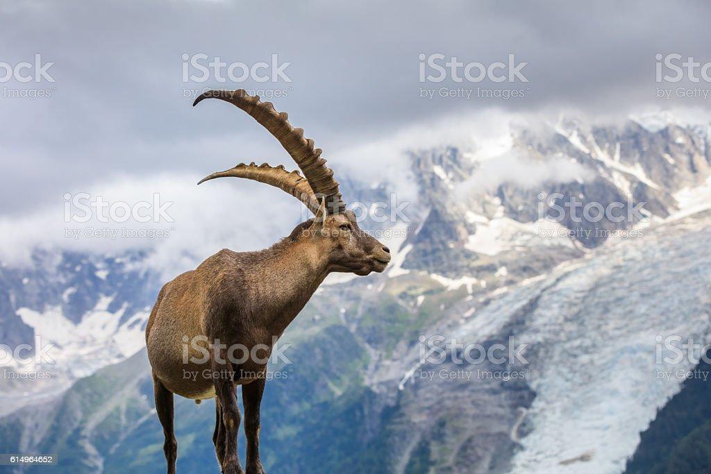 Alpine ibex (Capra ibex) in Mont Blanc, France stock photo