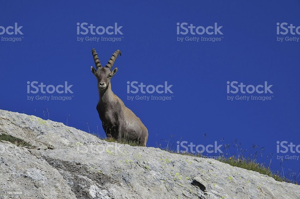 Alpine ibex looking down from a rock royalty-free stock photo