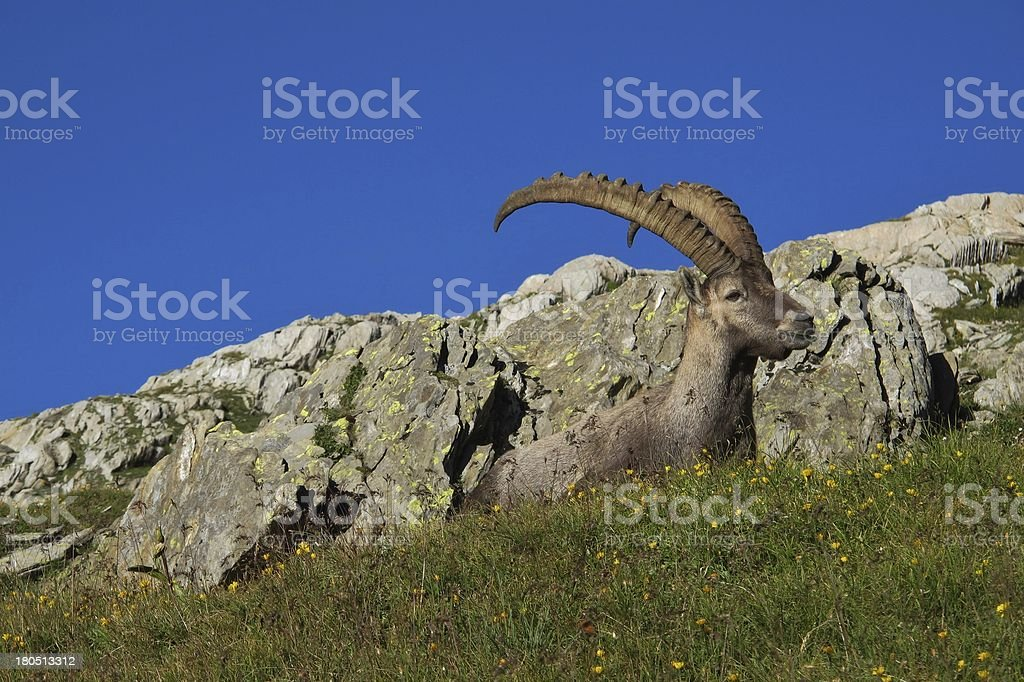 Alpine ibex lying on a meadow royalty-free stock photo