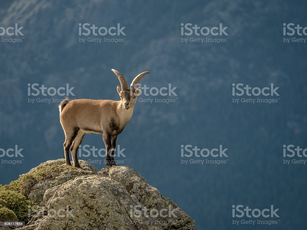 Alpine ibex male on the top of the mountain stock photo